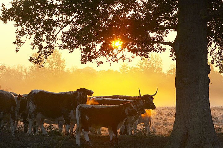 Old English Longhorns at dawn on the Knepp Castle Estate, West Sussex, England, UK