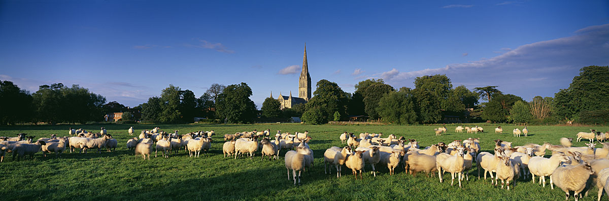 Sheep on Harnham Water Meadows with Salisbury Cathedral beyond, Wiltshire, England, UK
