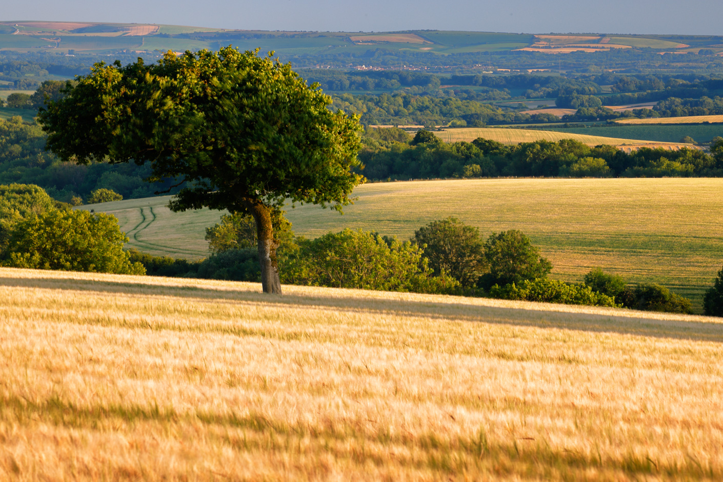 A solitary tree in a field of golden barley on Bulbarrow Hill, Dorset. Canon EOS R5, EF 100-400mm f/4.5-5.6 L IS II USM lens at 278mm, 1/2 sec at f/22, ISO 100