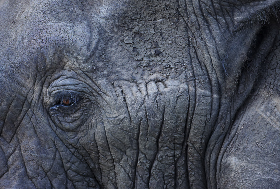 a detail of an African elephant's face and eye, Kruger National Park, South Africa