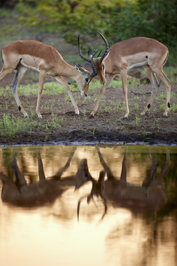 pair of male impala sparring reflected in waterhole, Kruger Natrional Park, South Africa