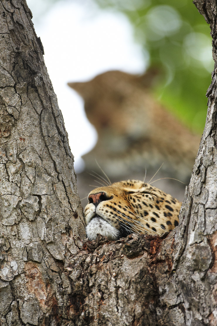 leopards resting in a tree, Kruger National Park, South Africa