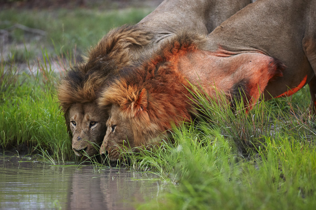 two lions drinking from a waterhole at dusk in the bush, Kruger National Park, South Africa