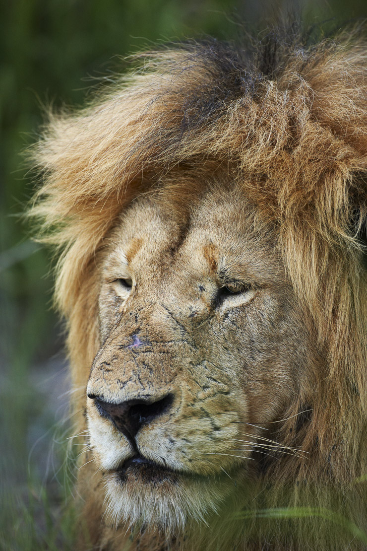 portrait of a pensive male lion resting in the bush, Kruger National Park, South Africa