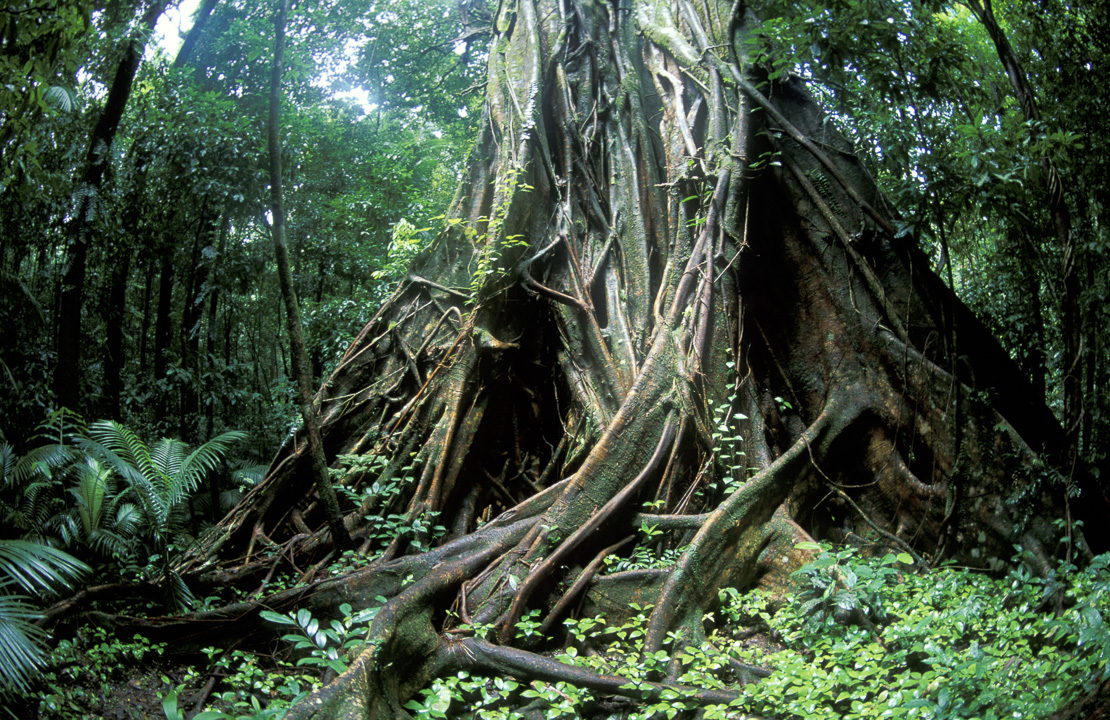 Details of Tree Roots in Rainforest, Cape Tribulation, Queensland, Australia