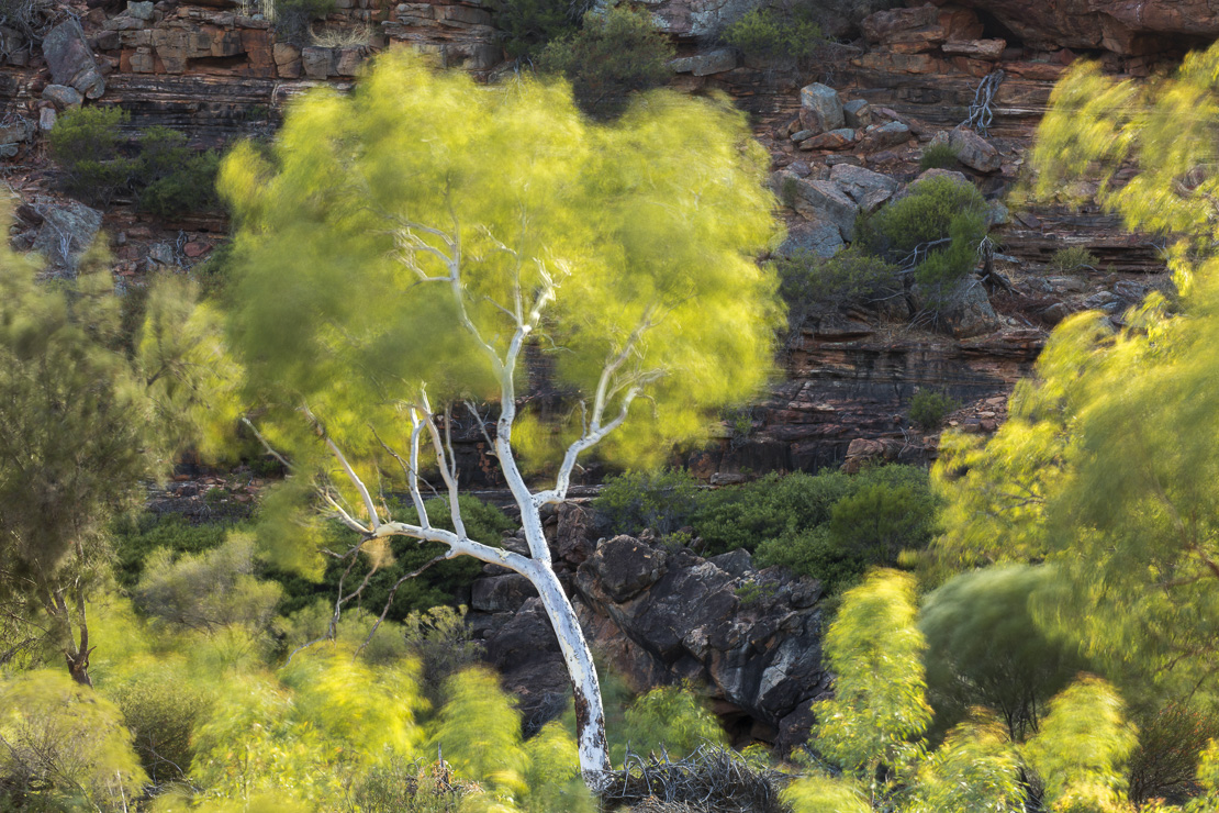 a eucalyptus tree in the Murchison River gorge at Ross Graham, Kalbarri National Park, Western Australia