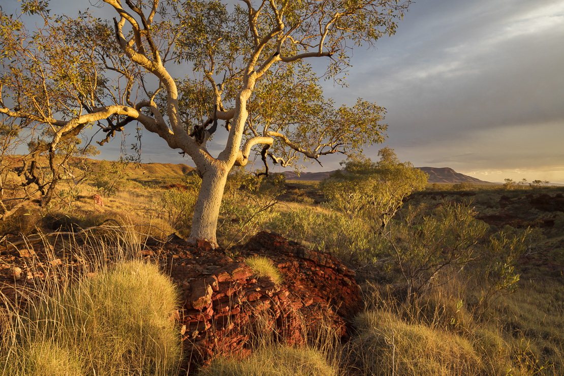 a eucalyptus tree in the last light of day, Hamersley Gorge, Karijini National Park, Pilbarra, Western Australia