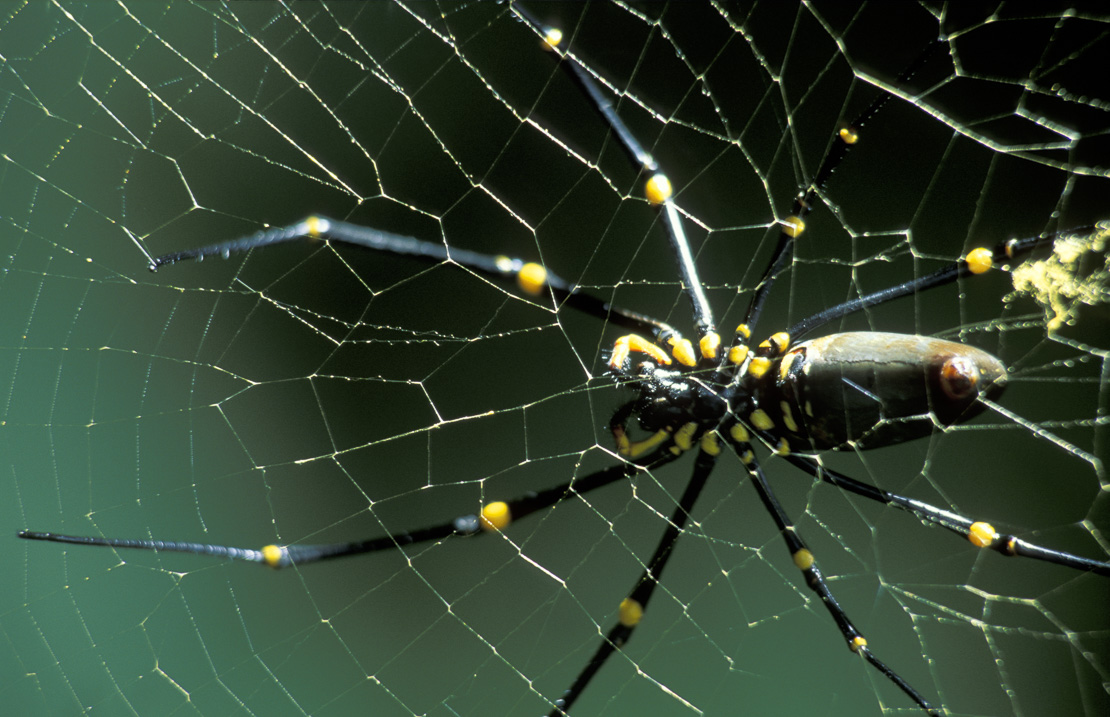 Golden Orb Spider on web, Australia