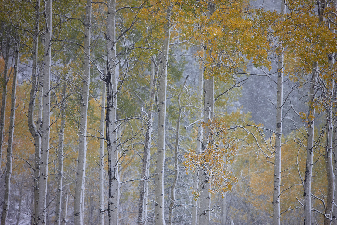 autumn colours of the aspen trees in the snow, nr Muleshoe, Bow Valley Parkway, Banff National Park, Alberta, Canada