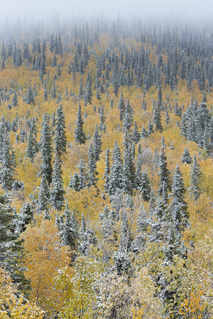 Autumn colour and the first snow on Dome Hill above Dawson City, Yukon Territories, Canada
