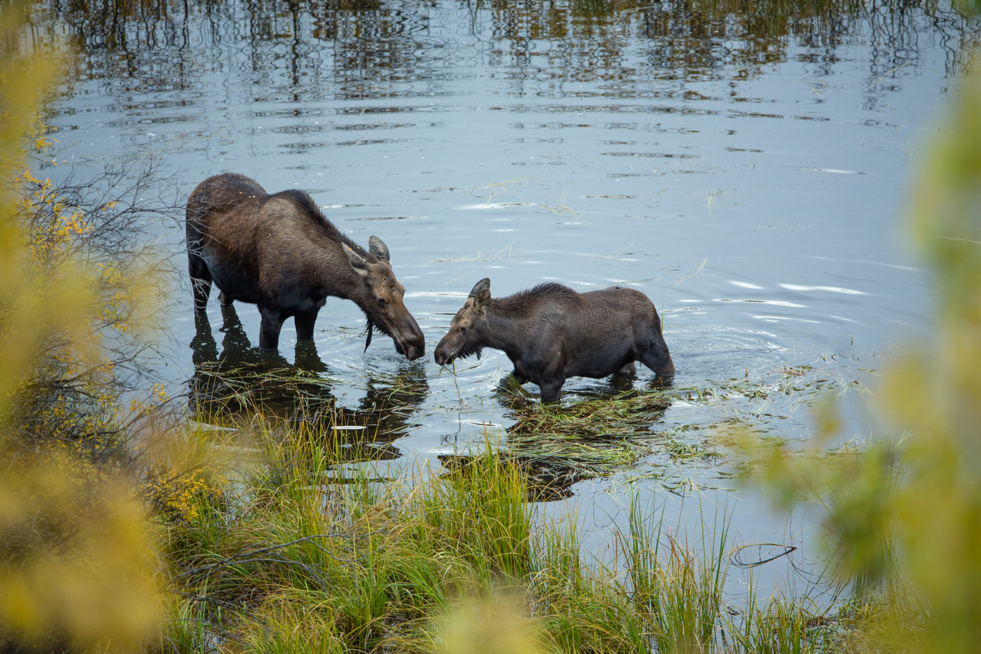 A cow moose and her calf in the Stewart River, Yukon Territories, Canada