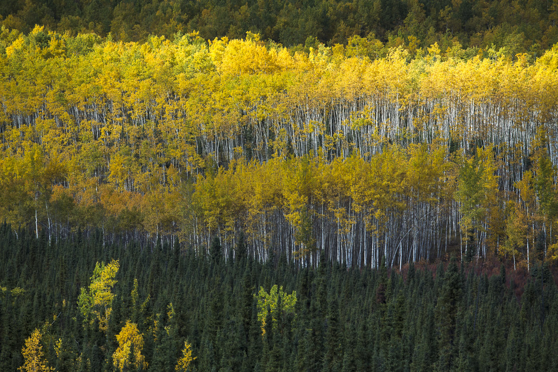 Autumn colours nr Pelly Crossing, Yukon Territories, Canada
