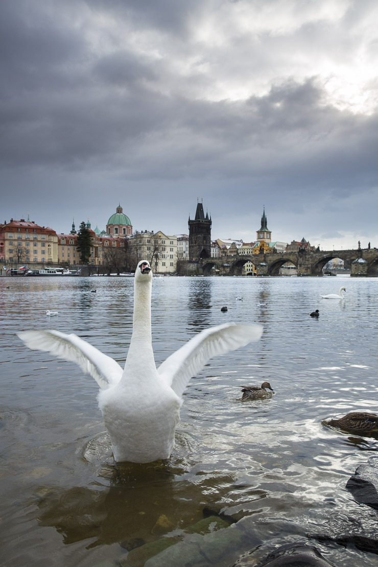 swans and gulls on the Vltava River with Charles Bridge beyond, Prague, Czech Republic
