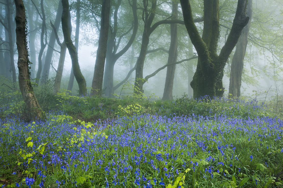 bluebells in the misty woods near Minterne Magna at dawn, Dorset, England, UK
