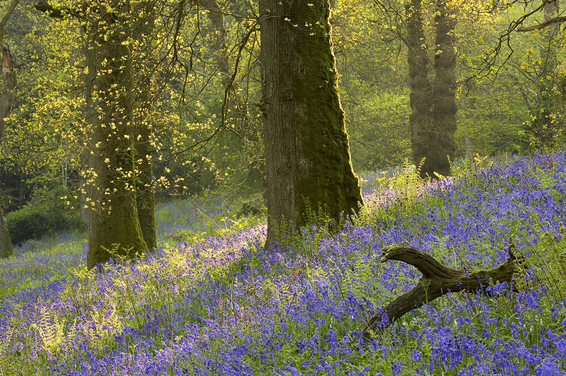 bluebells in a wood, Batcombe, Dorset, England, UK. (NR)