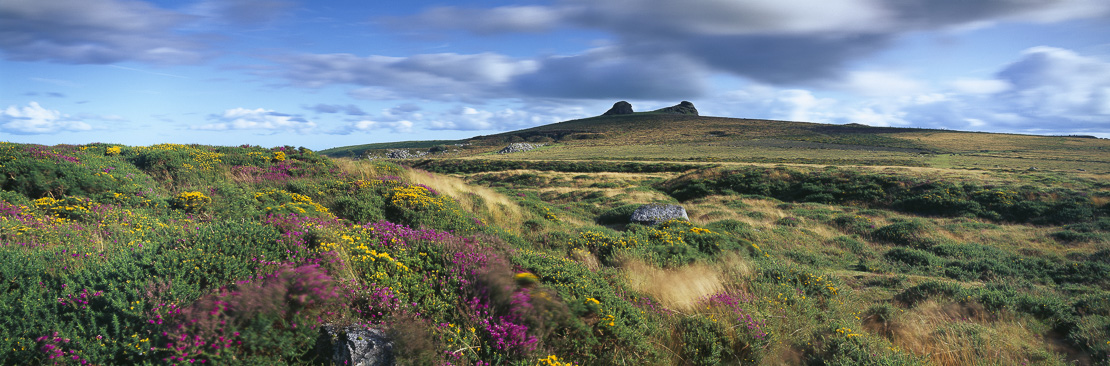 bell heather and gorse at Hay Tor, Dartmoor, Devon, England, UK