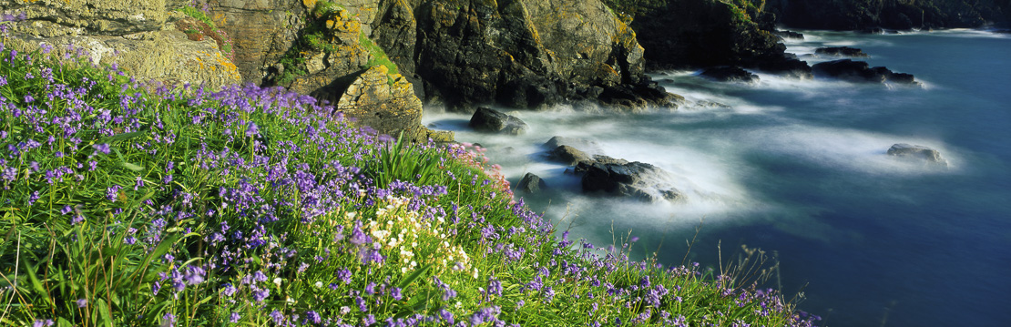 wild flowers on the cliffs of The Lizard, Cornwall, England, UK