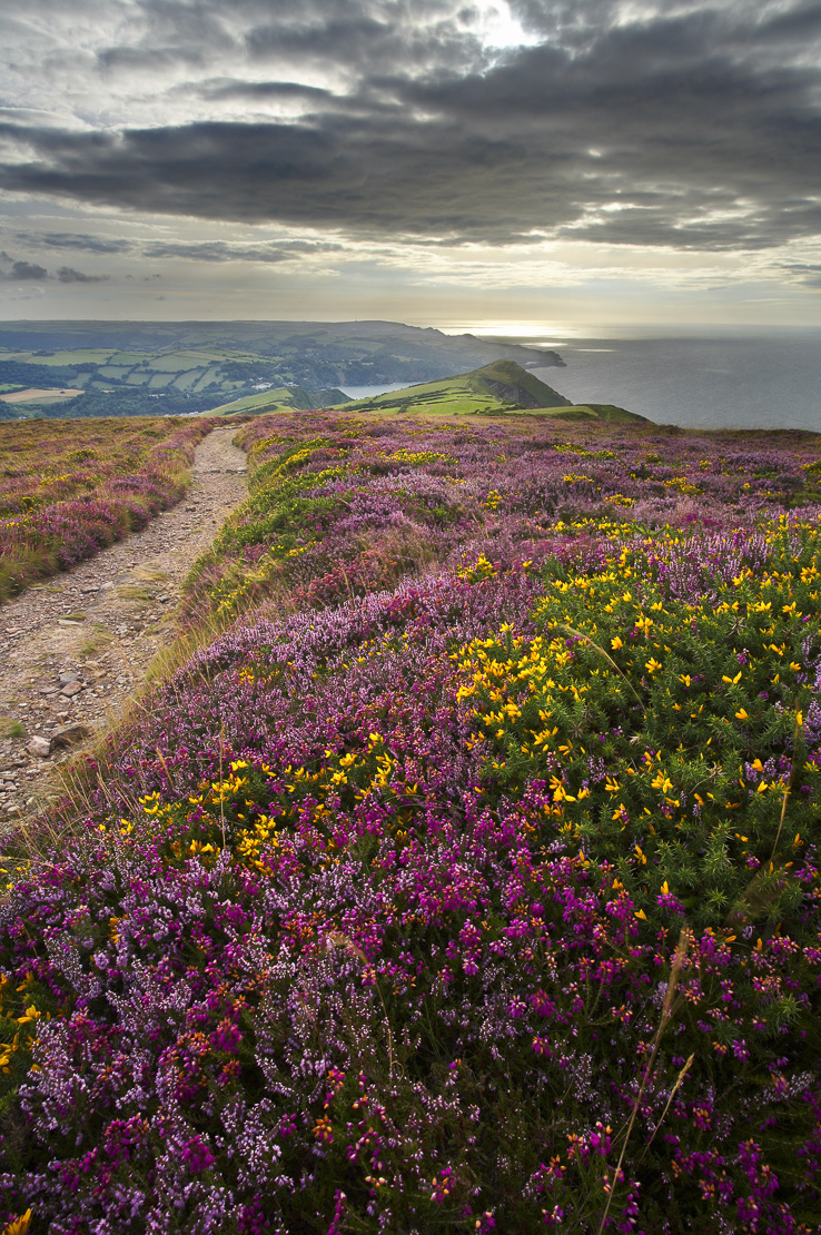coastal heath (common heather, bell heather and western gorse) lining the coastal path in late summer on the Great Hangman (NT), nr Combe Martin, north Devon, England, UK.