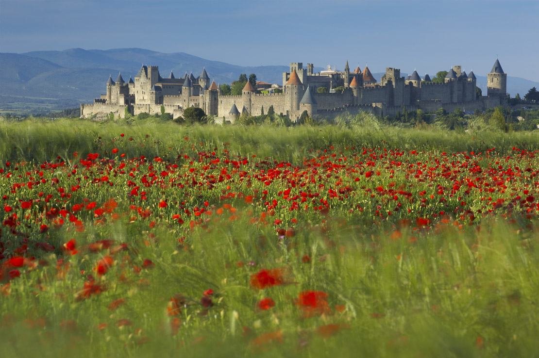 poppies and barley blowing in the wind with the medieval Cite beyond, Carcassonne, Languedoc, France