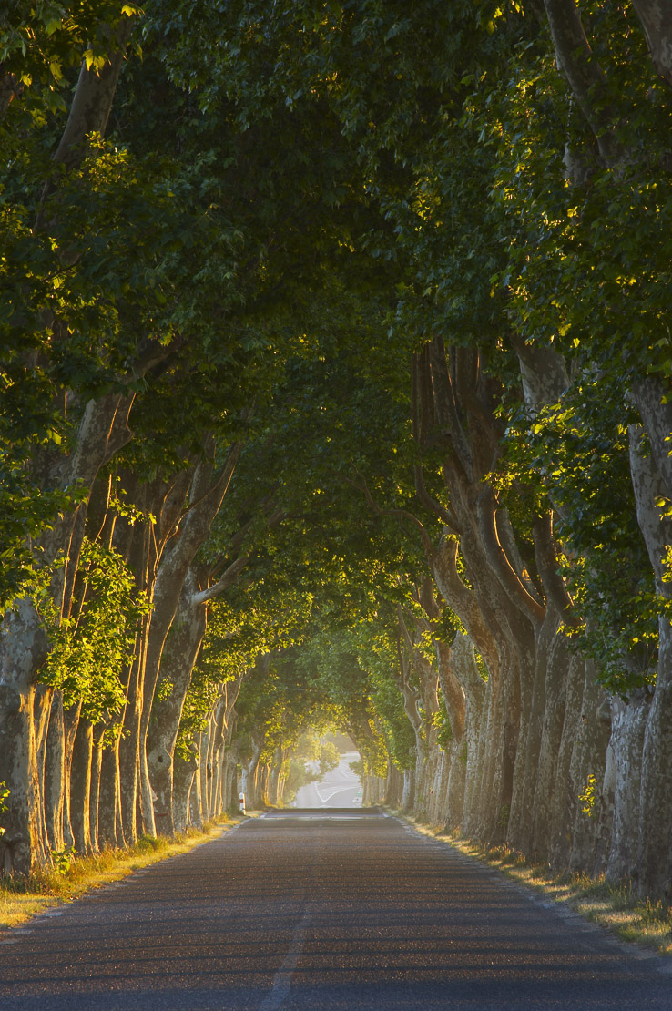 tree lined road nt Gignac, Languedoc, France. (NR)