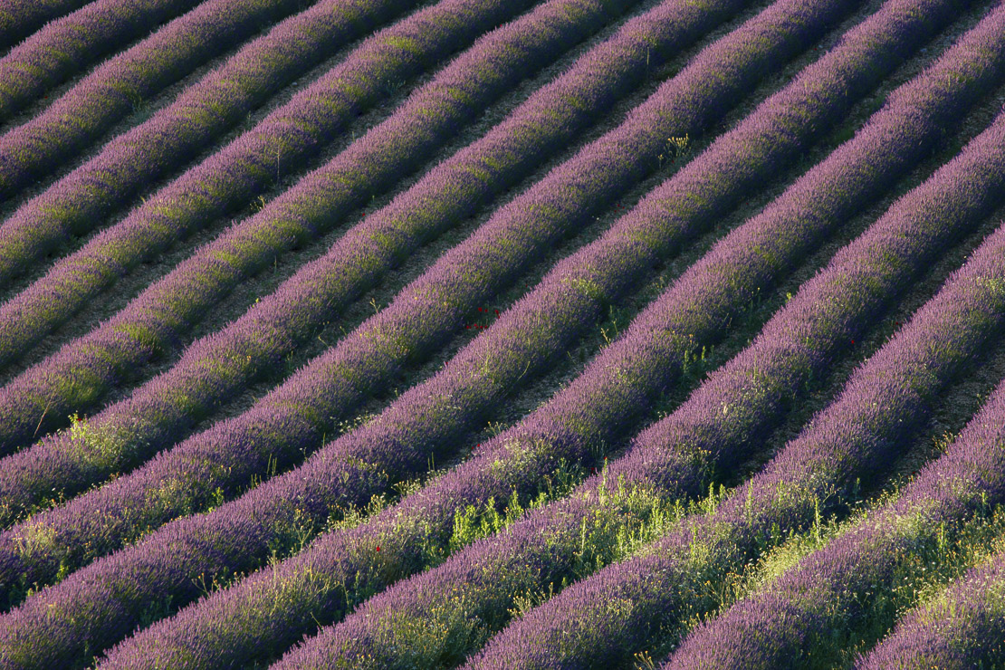 rows of lavender in a field near St-Saturnin-les-Apt, the Vaucluse, Provence, France