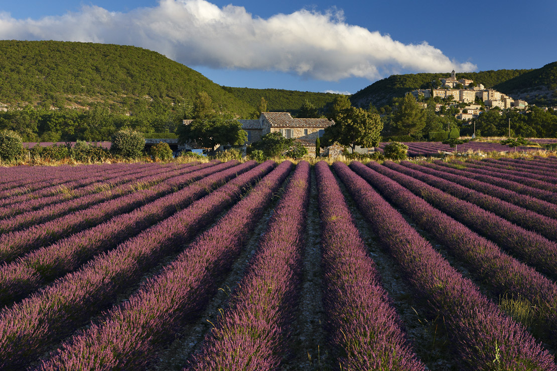 a lavender field with the village of Banon beyond, the Vaucluse, Provence, France