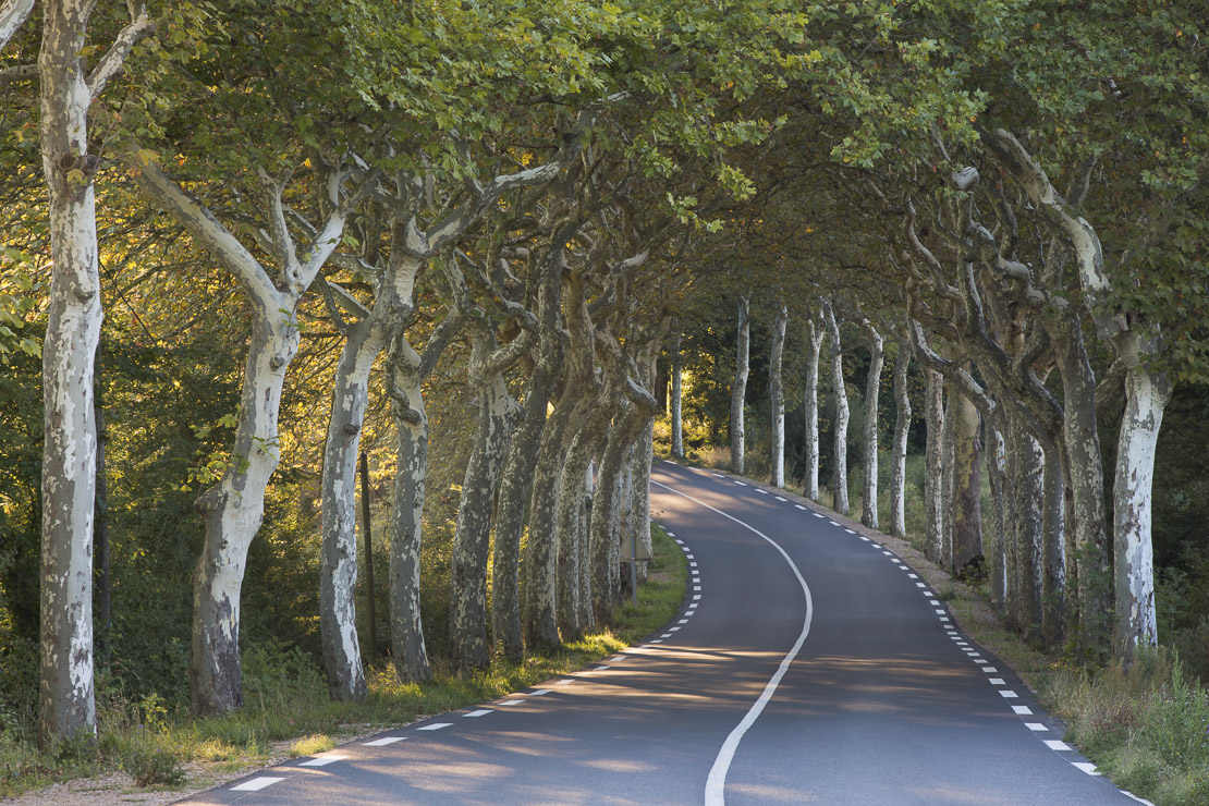 an avenue of plain trees on a road nr Soreze, Tarn, Languedoc, France