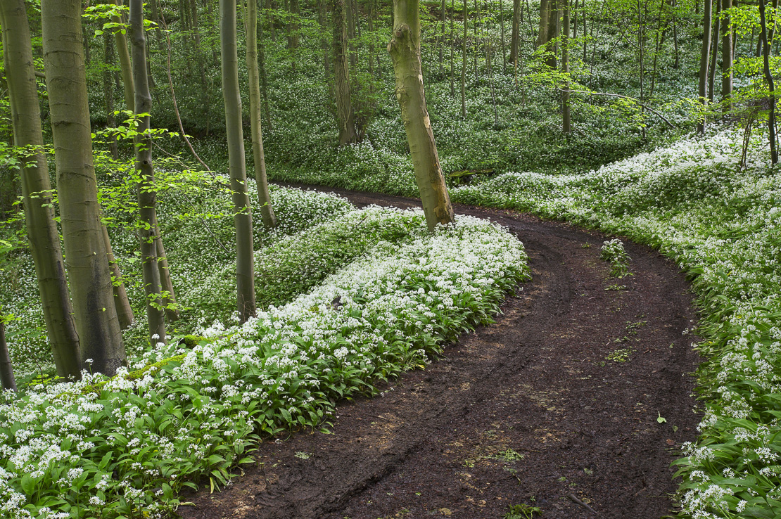 woodland track through the wild garlic on the Ebworth Estate (NT), nr Stroud, Gloucestershire