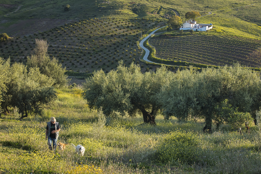 David Waterman walking his dogs in amongst the olive trees near Periana, Axarquia, Malaga Province, Andalucia, Spain