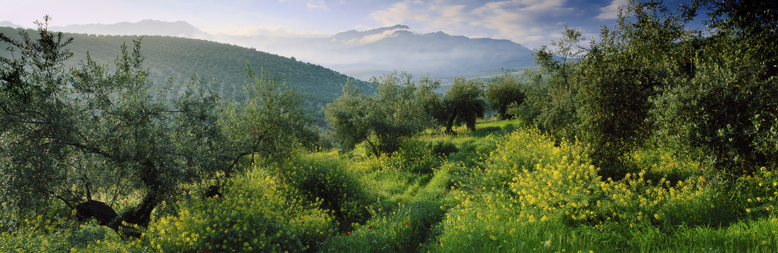 An olive grove near Cazorla in the Spring with wild flowers, the Sierra de Cazorla beyond Andalucia, Spain