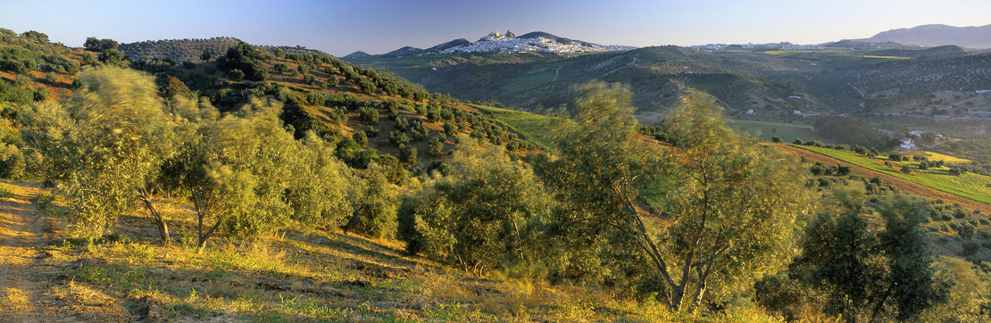 olive grove with the 'Pueblo Bianco' of Olvera beyond, Andalucia, Spain