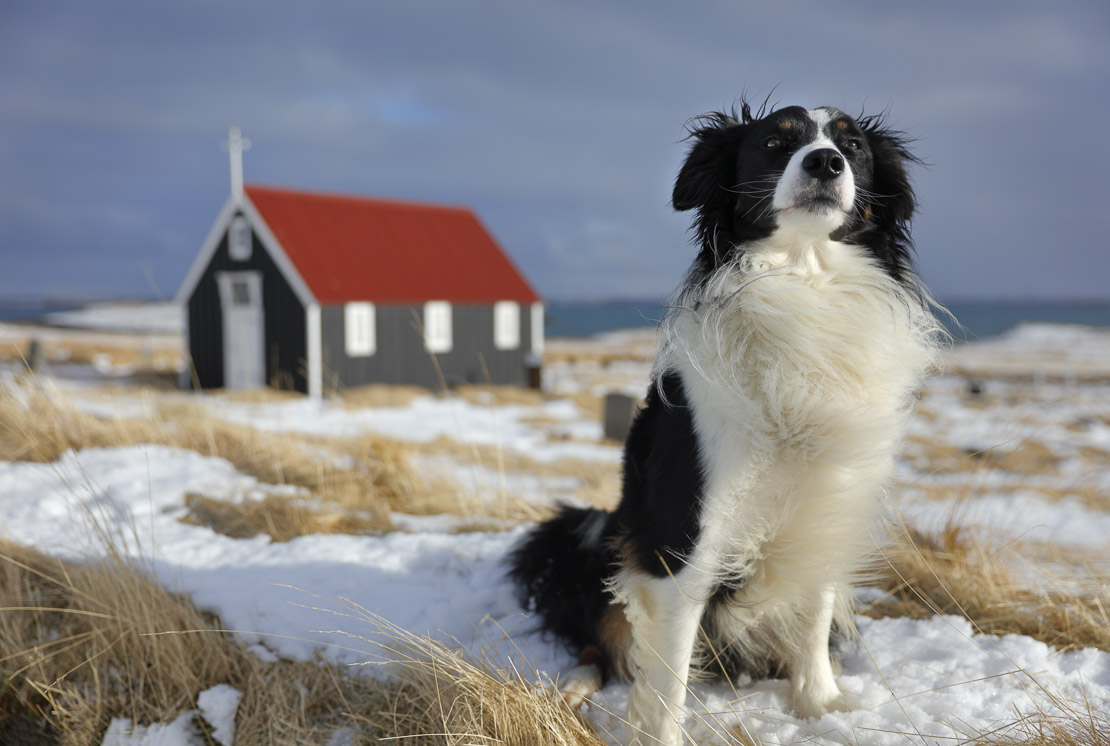 a dog in front of the church at Bjarnarhofn, Snaefellsness Peninsula, Iceland