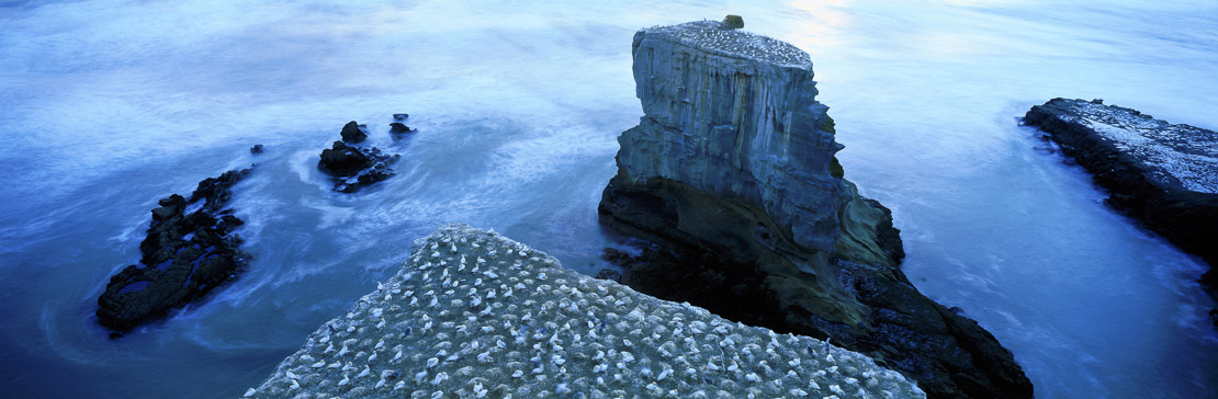 gannet colony at Murawai, North Island, New Zealand