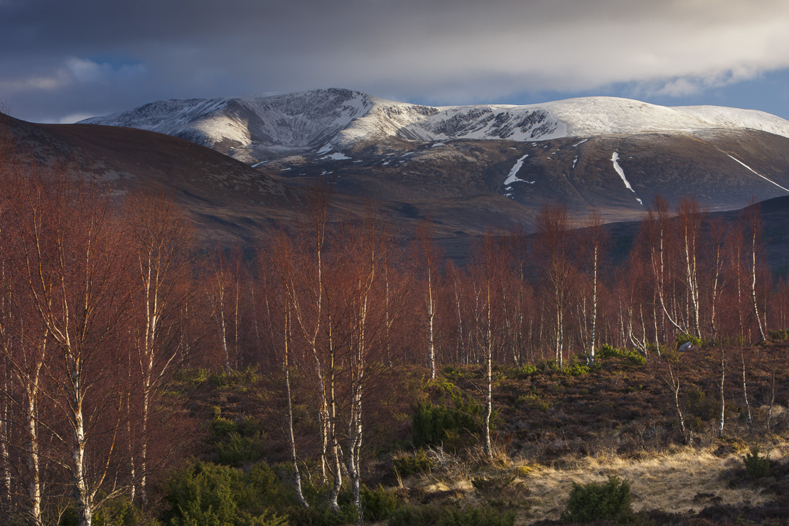 the Rothiemurchus forest and Cairngorms in winter, Scotland, UK