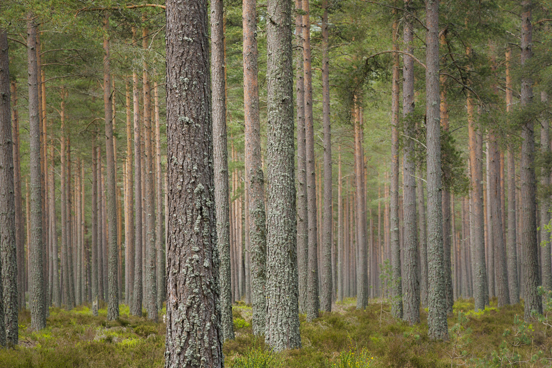 pine trees on the Balmoral Estate, Deeside, Aberdeenshire, Scotland, UK