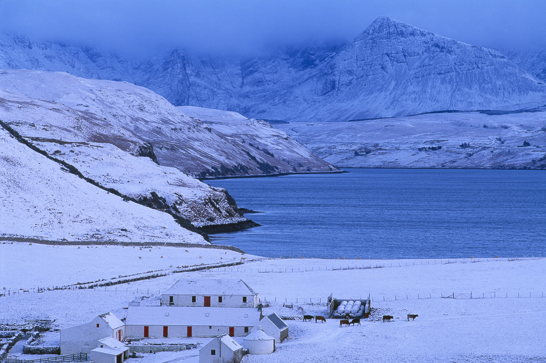 cattle by the farm yard at Loch Harport & the Cullin Mountains in winter snow, Isle of Skye, Scotland, UK