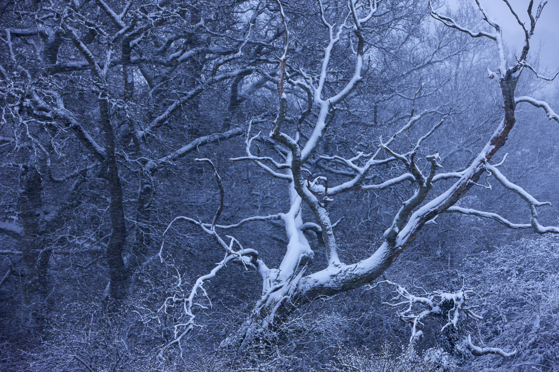 snow on the trees at Cadbury Castle, Somerset, England