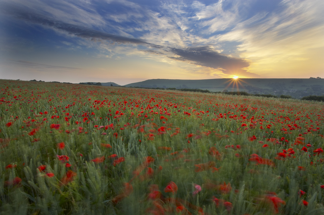 poppies growing in amongst a field of wheat on an organic farm nr Corton Denham at dawn, Somerset, England, UK