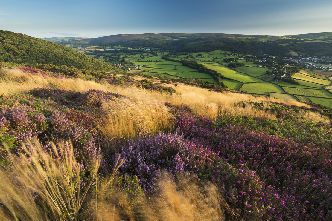 coastal heath (common heather, bell heather and western gorse) on Bossington Hill in late summer, with Dunkery Beacon beyond, Exmoor National Park, Somerset, England, UK