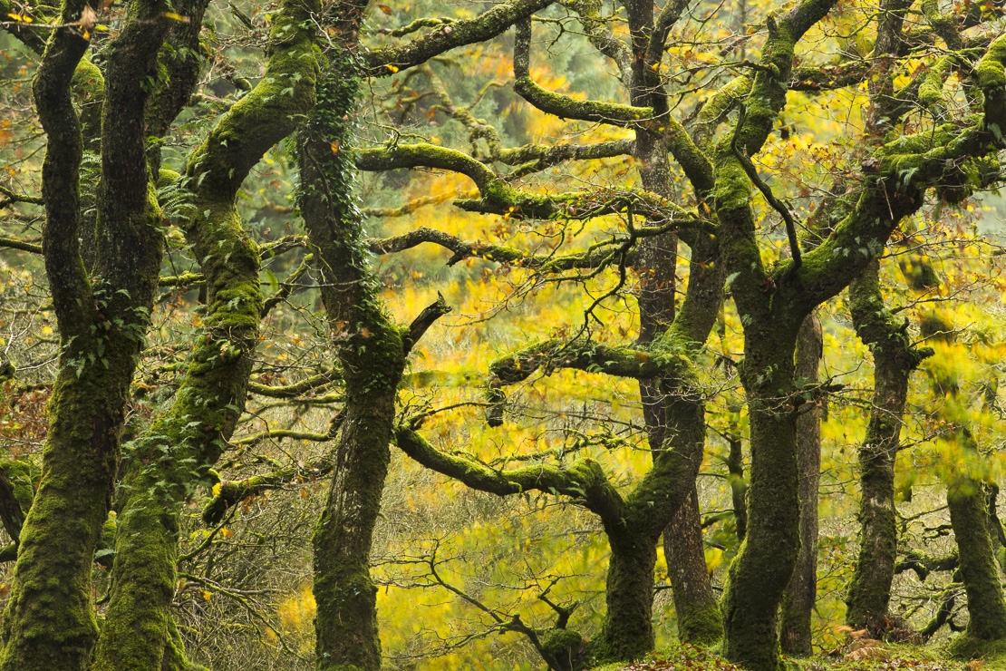 autumn colours in Badgworthy Wood, Doone Valley, Exmoor National Park, Somerset, England, UK