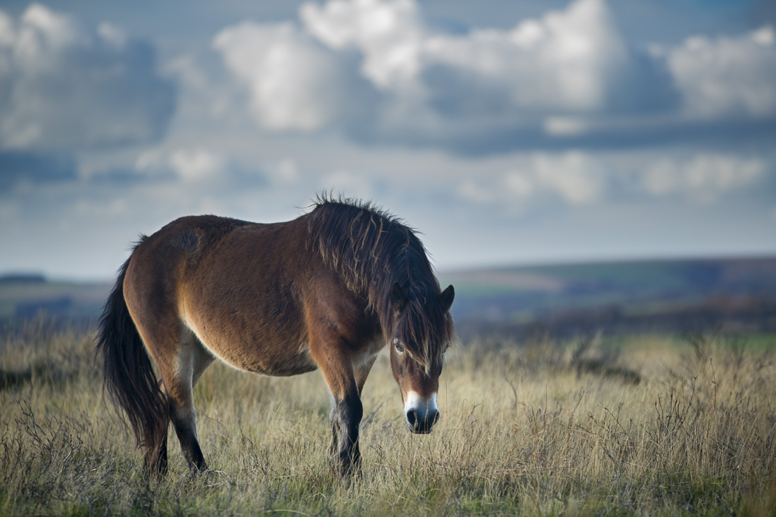 wild ponies on Winsford Hill, Exmoor National Park, Somerset, England, UK
