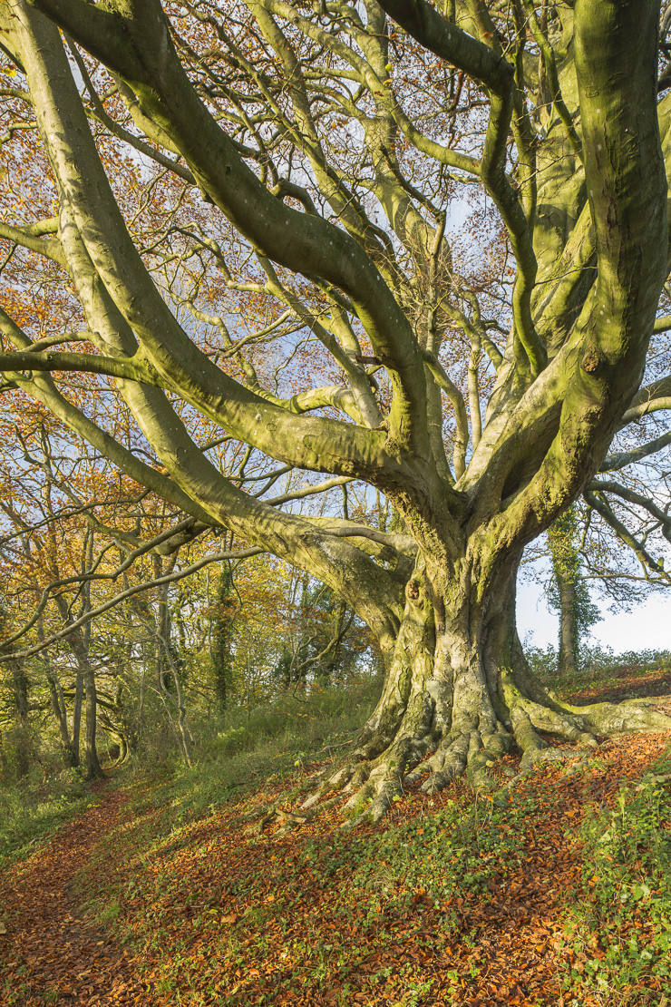 the beech tree in the woods in autumn nr Milborne Wick, Somerset, England, UK