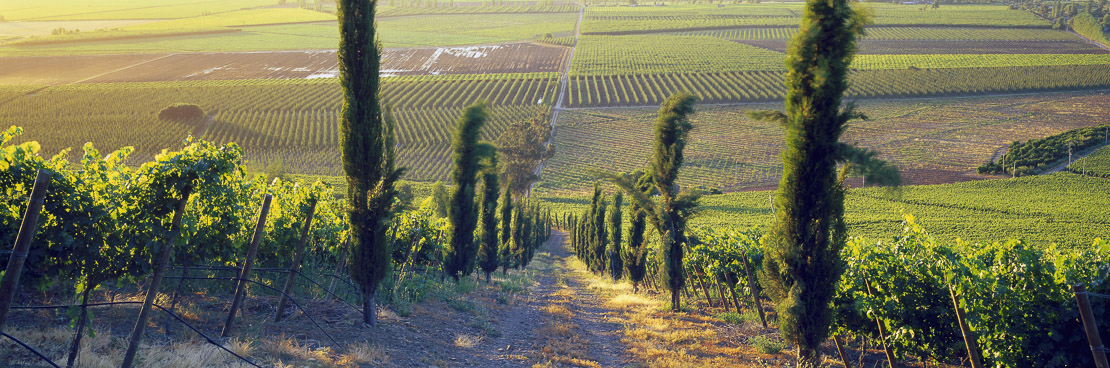vineyard in the Colchagua Valley nr Santa Cruz, central Chile