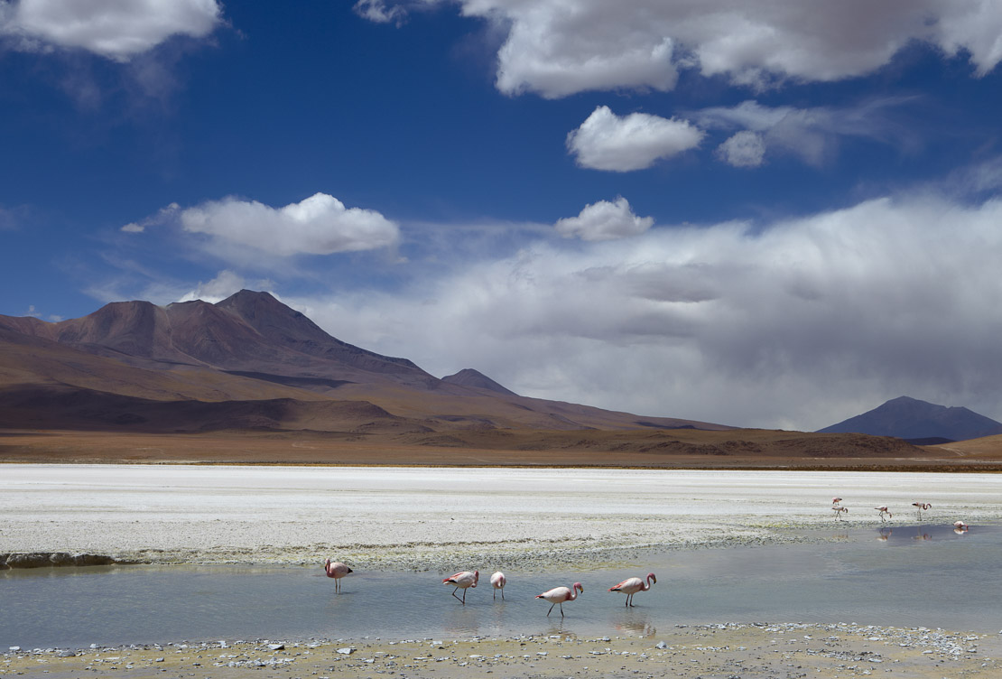 James flamingos on a laguna in the remote region of high desert, altiplano and volcanoes near Tapaquilcha, Bolivia