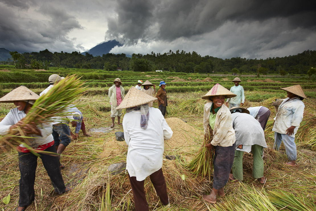 workers threshing rice in the fields nr Sibetan, Bali, Indonesia