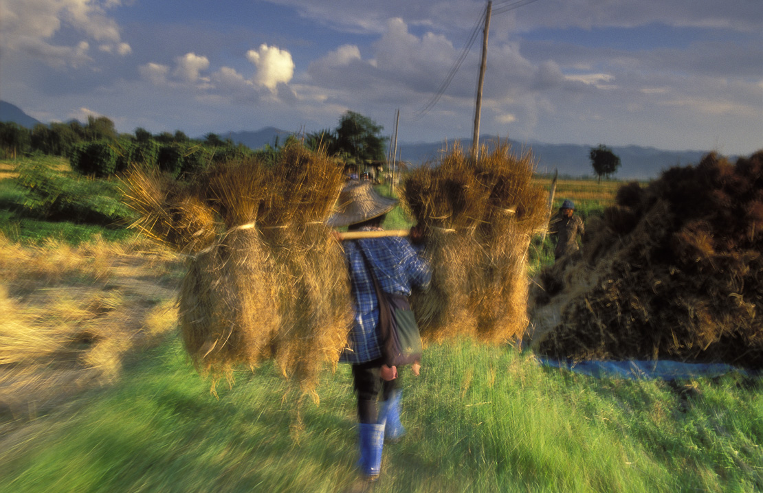 village rice harvest outside Padang, nr Phrae, Northern Thailand
