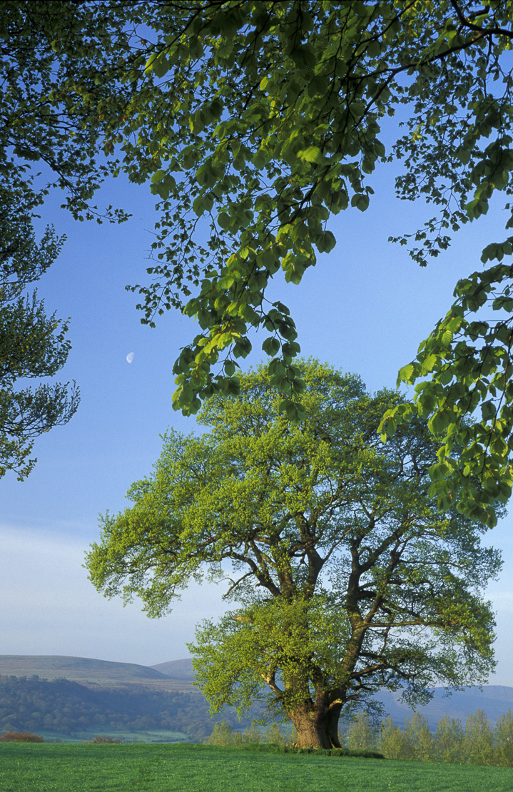 Oak Tree, nr Llanfrynach, Brecon Beacons, Wales, UK
