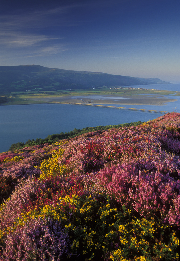 wild flowers on hillside above the Mawddach Estuary, Snowdonia National Park, Wales, UK