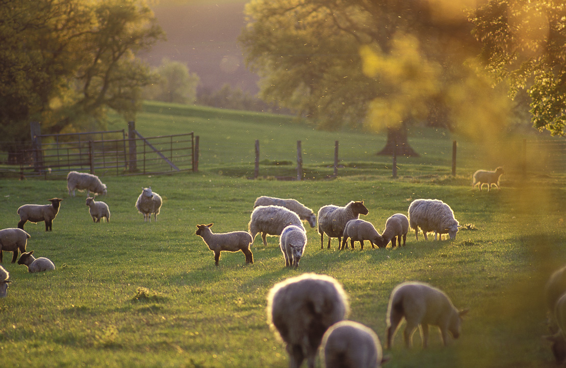 sheep on farm at Llanfrynach, nr Brecon, Wales, UK