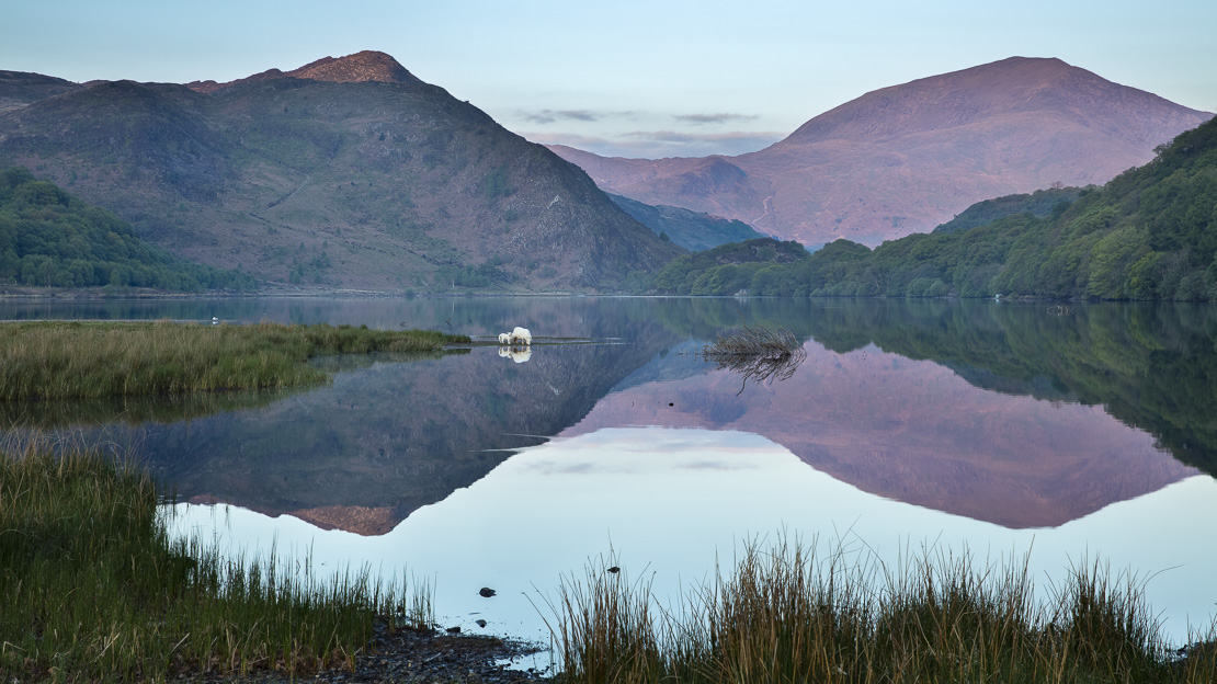 sheep grazing on the banks of Llyn Dinas at dawn, Snowdonia, Gwynedd, Wales